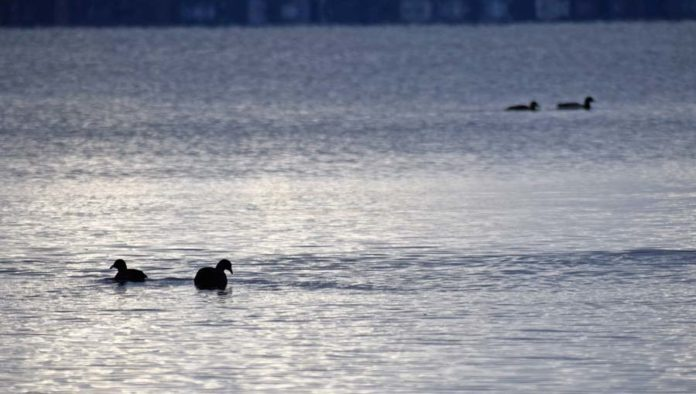 Coots on Lake Mendota - Photo credit: DNR